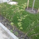 Auch die Heckenpflanzen entwickeln sich