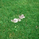Eine Auswahl unserer Rasen-Pilze