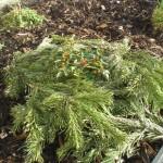Mit Tannenzweigen vor der Kälte geschütztes Rosen-Pflänzchen
