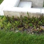 Kleinteilige Unkrautmengen  bei den abgestorbenen Heckenpflanzen