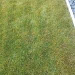 Bei genauerem Hinsehen zeigen sich doch einige gelbe Halme im Rasen