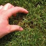 Unter den grünen Halmen ist jedoch viel abgestorbener, gelber Rasen - und das nach gerade einmal einem Jahr