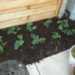 Eingepflanzte Erdbeeren