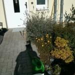 Der Monster-Lavendel vor der Prozedur auf dem künftigen Fahrrad-Stellplatz